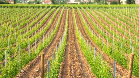 I problemi tecnici della nuova viticoltura pugliese all for Terreni piantati a meli